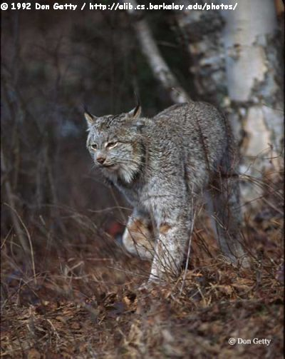 Canadian Animals Canada Lynx Wildcat Of North America